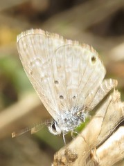 Hemiargus hanno (Birdernaturalist) Tags: bolivia butterfly lepidoptera lycaenidae polyommatinae richhoyer