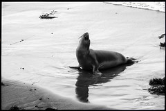 I Want More! (greenschist) Tags: california usa blackwhite pacificocean seal mammal