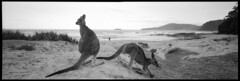 Pebbly Beach, NSW. (tonywright617) Tags: kangaroos pebblybeach nsw australia fujica g617 panoramic ilford iso400 mediumformat 120 film analogue