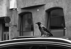 Stadin Varis Tsiigaa (Aleksi Romo) Tags: finland birds helsinki nature wildlife urbanbird