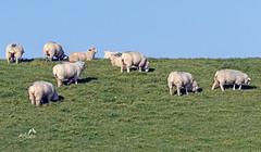 KV4A1240  Får - Sheep. Vadehavet -  Wadden Sea National Park (I appreciate all the faves and visits many thanks) Tags: animals dyr fårsheep nationalparkvadehavetwaddenseanationalpark natur nature solveigøsterøschrøder