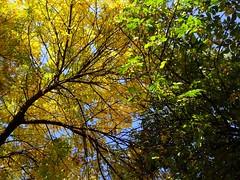 Tree (Anna Gelashvili) Tags: пейзаж небо тбилиси дерево tree nutsubidzeplato tbilisi georgia ხე ნუცუბიძისპლატო თბილისი საქართველო ფოთლები leaf forest wood park листва осень leaves შემოდგომა ყვითელი sky landscape ყვითელიფოთლები