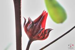 洛神花-Roselle (~金玉~ Y.C.CHEN) Tags: canon beautiful bokeh nature plant flower red green light