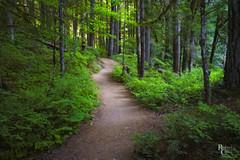 The Path (RobertCross1 (off and on)) Tags: a7rii alpha emount fe1635mmf4zaoss ilce7rm2 mtrainier mtrainiernationalpark ohanapecosh ohanapecoshriver pacificnorthwest packwood pierce silverfalls sony wa washington forest fullframe landscape mirrorless nature trees woods