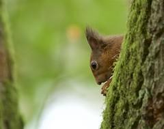 Red Squirrel (Ian Mc Farlane) Tags: redsquirrel lochofthelowes perthshire scotland