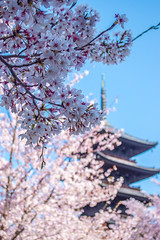 Toji Temple Sakura - Kyoto, Japan (inefekt69) Tags: kyoto japan toji temple 日本 京都 nikon d5500 sakura cherry blossoms flowers spring さくら 桜 花見 東寺 pagoda tumblr