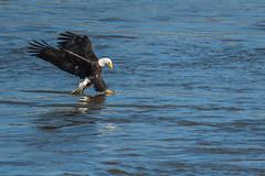 Touch Down (rob.wallace) Tags: fall2018conowingodamdarlingtonmdbaldeagles bald eagle fishing susquehanna river