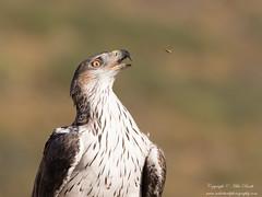 Bonelli's Eagle (Aquila fasciata) (www.mikebarthphotography.com 2M Views thanks !) Tags: aquilafasciata bonelliseagle