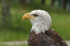 _MG_1092.1 (rebordou) Tags: águila eagle raptor predator bird calva baldeagle american americana avedepresa animal portrait