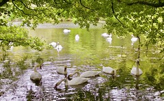 Swan Lake! (BrianDerbyshire) Tags: uk leeds swans muteswan autumn flock canon canondslr canon760d roundhaypark lake