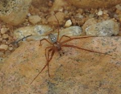 spider male indet (BSCG (Badenoch and Strathspey Conservation Group)) Tags: arachnid spider acm september male