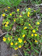 Yellow Pimpernel (JulieK (thanks for 7 million views)) Tags: wildflower ireland irish 100flowers2018 iphonese flora wexford green yellow plant flower lysimachianemorum yellowpimpernel