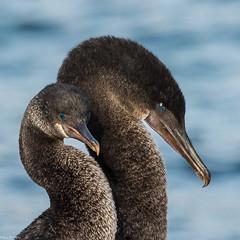 The blushing couple (Fred Roe) Tags: nikond810 nikkorafs80400mmf4556ged nature wildlife birds birding birdwatching birdwatcher cormorant flightlesscormorant phalacrocoraxharrisi galapagos