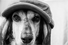 three with a cap - Gioia (andaradagio) Tags: andaradagio bianconero bw canon dog cane miglioramicodelluomo nadiadagaro