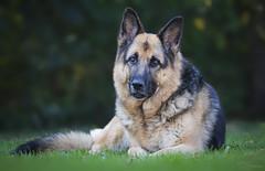 Laika (Paula Darwinkel) Tags: dog puppy germanshepherd shepherd pet animal nature portrait bokeh