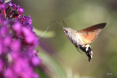 Moro sphinx ( UNIXetvous ) Tags: morosphinx papillon butterfly flower insect