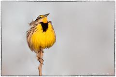 Eastern Meadowlark (RKop) Tags: voa ohio cincinnati raphaelkopanphotography nikon d500 wildlife
