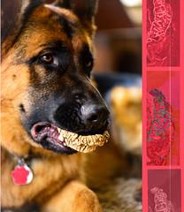 Like My Chompers ? (Karen McQuilkin) Tags: zeke shepherd germanshepherd chompers overbite dogbone