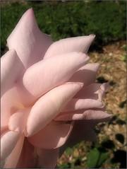 (Tölgyesi Kata) Tags: rosen rose rózsa rózsakert rosegarden tuzsonjánosbotanikuskert botanikuskert botanicalgarden withcanonpowershota620 rosa flower rosier blossom fleur virág nyíregyháza summer nyár