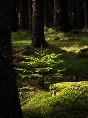 Fighting for the light (olafrudiger) Tags: lubawka poland trees fores nature fantasticnature