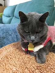Argent the Supervisor (sjrankin) Tags: 3october2018 edited animal cat argent closeup portrait blanket bench couch livingroom tunic kitahiroshima hokkaido japan