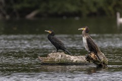 Grands cormorans - Great cormorant (dom67150) Tags: animal wildlife nature oiseau bird grandcormoran greatcormorant plandeaudeplobsheim krafft