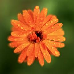 A:     The Protractor (Parowan496) Tags: farmer protractor calendula drops water raindrops cropcircles orange petals canoneos80def50mmf14usm canon eos 80d ef50mm f14usm niftyfifty