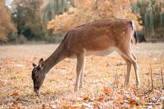 Fallow Dear, Oxford, UK (KSAG Photography) Tags: nature deer fallowdeer uk animal oxford city nikon autumn october 2018 england europe britain unitedkingdom meadow park