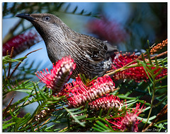 Little Wattlebird (Bear Dale) Tags: little wattlebird grevillea ulladulla southcoast new south wales shoalhaven australia beardale lakeconjola fotoworx milton nsw nikon d850 photography framed nature nectar birds birding bird honeyeater flowers flower flowering nikkor afs 200500mm f56e ed vr teleconverter tc14e iii