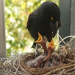 Charlotte Currawong and her 5 chicks thumbnail