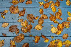 'On Deck' (Canadapt) Tags: leaf leaves board deck contrast autumn fall rain wet keefer canadapt