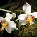 [Borneo] Paraphalaenopsis serpentilingua (J.J.Sm.) A.D.Hawkes, Orquídea (Rio de Janeiro) 25: 212 (1963)