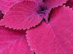 Redhead Coleus (annapolis_rose) Tags: plant redleaves redfoliage