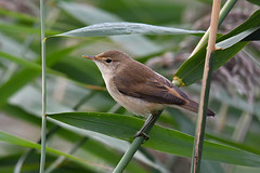 European Reed Warbler 2018-08-11_01 (Jan Thomas Landgren) Tags: birds bird fåglar fågel fauna djur europe europa aves animal animals avifauna halland getterön getterönnaturereserve sweden sverige nature natur nikon nikond500 tamron tamron150600mm wildlife wetland wetlands outdoor outdoors europeanreedwarbler reedwarbler rörsångare warbler warblers sångare acrocephalusscirpaceus