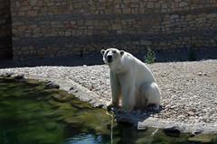 Tallinna loomaaed (Jaan Keinaste) Tags: pentax k3 pentaxk3 eesti estonia tallinn tallinnaloomaaed jääkaru polarbear
