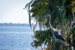 Content Gaze (Priority Mode) Tags: great blue heron nature bird florida