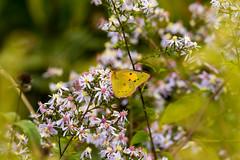7K8A7616 (rpealit) Tags: scenery wildlife nature weldon brook management area orange sulphur butterfly