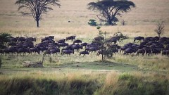 Wildebeest on the Move 2 (Patrick Gregerson) Tags: savanna africa canon 5d mark iv crater sigma 150600mm tanzania outdoors outside safari wildlife animal field grass mammal landscape canon5dmarkiv serengetinationalpark wildebeest sigma150600mm