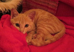 046-June'18 (Silvia Inacio) Tags: mel tabby gata gatos cat cats kitten
