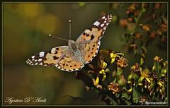 Farfalla  su fiori gialli - Ottobre-2018 (Agostino D'Ascoli) Tags: farfalla nikon nikkor nature texture cianciana sicilia macro fiori ottobre autunno agostinodascoli
