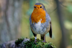 Old Friend (Paul A Wiles) Tags: robin brandonmarsh