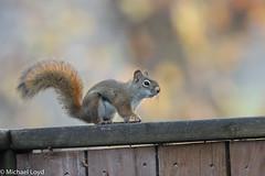 Red Squirrel (mobull_98) Tags: redsquirrel josie