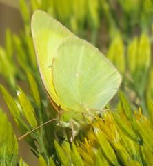 Colias alexandra (Birdernaturalist) Tags: butterfly coliadinae lepidoptera oregon pieridae richhoyer