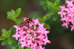 2 for the price of one. (SUSETOZER) Tags: hoverfly ant insects flower nature macro