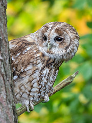 Tawny Owl (srhphoto) Tags: canon eos r tawny owl ©simonharrison2018 wildlife