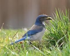 IMG_1336_edited-1.jpg (Dan Streiffert) Tags: crowsandjayscorvidae nationalwildliferefuges westernscrubjay birds places ridgefieldnwr