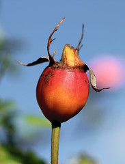 Rose Hip (the.haggishunter) Tags: rose bush hip fruit seed garden