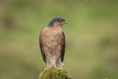 Male Sparrowhawk (cazalegg) Tags: sparrowhawk forest scotland raptor wildlife nikon
