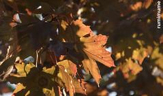 Autumn Leaves (rumimume) Tags: potd rumimume 2017 niagara ontario canada photo canon 80d sigma fall autumn outdoor leaf colour day brown orange 2018