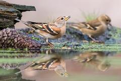 Keep-8978 (lucvereecken) Tags: glenn kalmthout bosvogels oktober